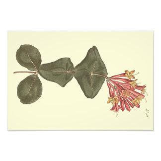 Grande illustration botanique de chèvrefeuille de photos