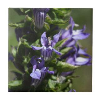 Grande lobélie bleue (siphilitica de lobélie) carreau