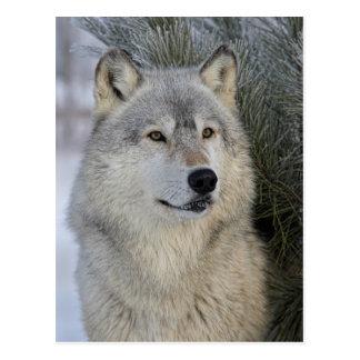 Grijze Wolf Briefkaart