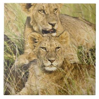 Groupe de petits animaux de lion, Panthera Lion, m Grand Carreau Carré