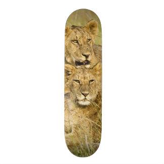 Groupe de petits animaux de lion, Panthera Lion, m Plateaux De Skateboards