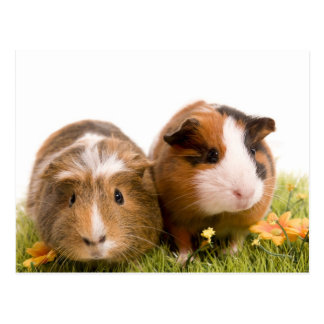 guinea pigs on a lawn carte postale