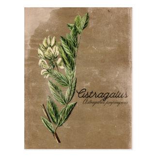 Herbe vintage de fleur d'astragale de style carte postale