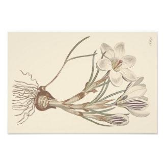 Illustration botanique de crocus écossais photos sur toile