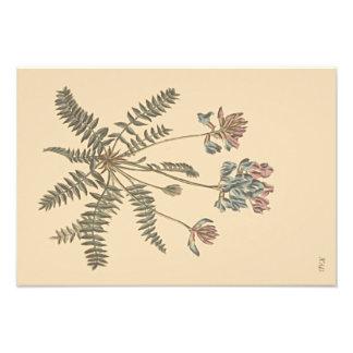 Illustration botanique de Milkvetch de montagne Photographie