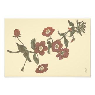 Illustration botanique de mouron arbustif photo