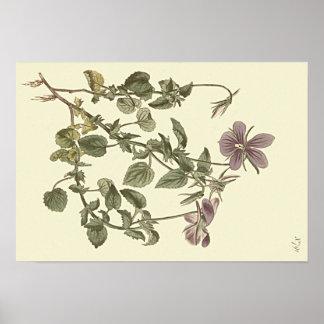 Illustration botanique de violette à cornes poster