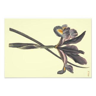Illustration espagnole d'iris de drapeau impression photo