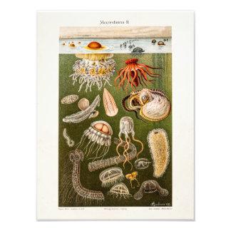 Illustration vintage de méduses d'antiquité de photographe