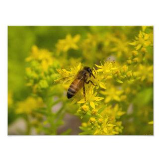Impression Photo Abeille jaune Maleny 2016 de fleur et de miel