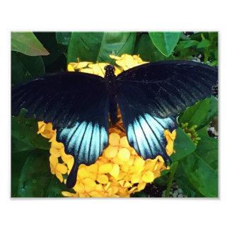Impression Photo Beau papillon bleu sur les fleurs jaunes