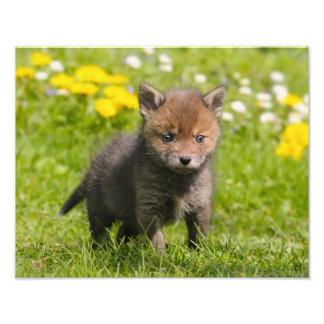 Impression Photo Bébé sauvage rouge pelucheux mignon de Fox CUB -