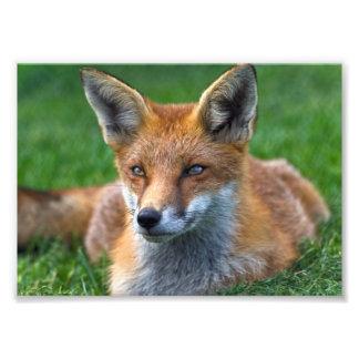 Impression Photo Copie de Fox rouge