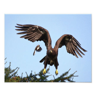 Impression Photo Décollage juvénile d'Eagle chauve