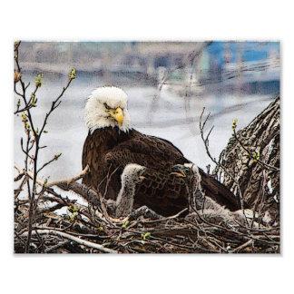 Impression Photo Eagle chauve adulte avec des aiglons