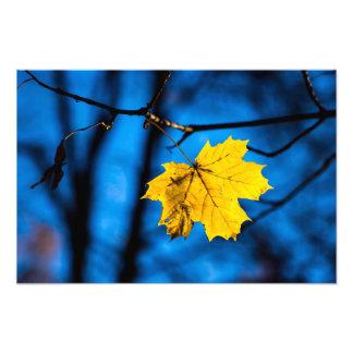Impression Photo Feuille d'érable jaune sur le bleu