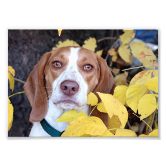 Impression Photo Feuille d'un beagle en automne