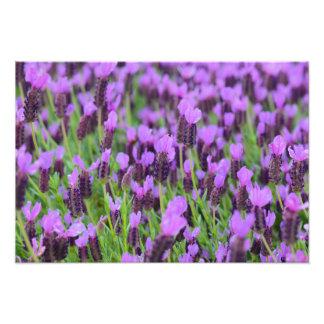 Impression Photo Fleur espagnole pourpre de lavande
