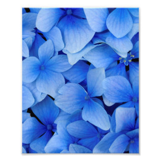 Impression Photo Fleurs bleues d'hortensia