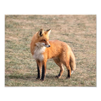 Impression Photo Fox 14x11 rouge dans un domaine