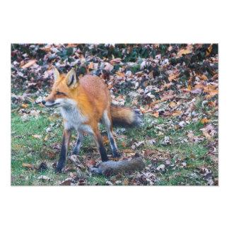 Impression Photo Fox et sa mise à mort