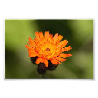 Impression Photo Hawkweed orange