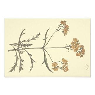 Impression Photo Illustration botanique de valériane sibérienne