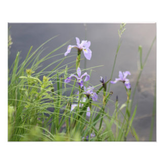 Impression Photo Iris arctique sauvage
