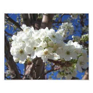 Impression Photo Le blanc se développe arbre fleurissant du ressort