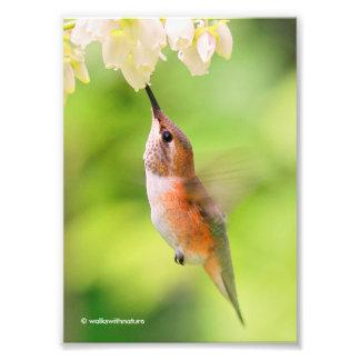 Impression Photo Le colibri Rufous sirote le nectar de fleur de
