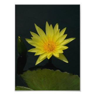 Impression Photo Nénuphar jaune de Lotus