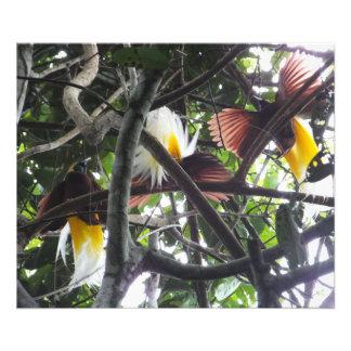 Impression Photo Oiseaux du paradis