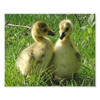 Impression Photo Paires jaunes mignonnes de Gosling d'oies du