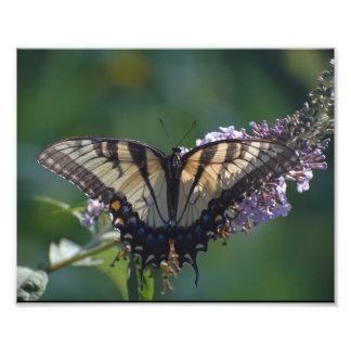 Impression Photo Papillon jaune de machaon