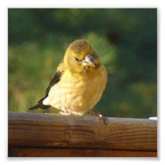 Impression Photo Petit oiseau jaune