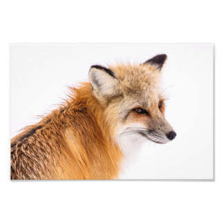 Impression Photo Plan rapproché de renard rouge