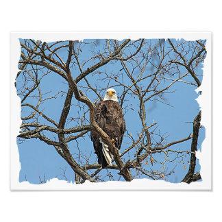 Impression Photo Portrait d'Eagle chauve