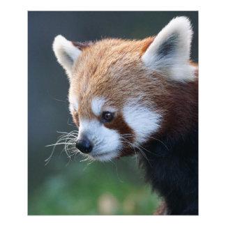 Impression Photo Portrait magnifique de panda rouge