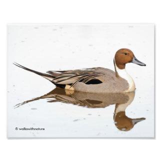 Impression Photo Réflexions d'un canard de canard pilet du nord