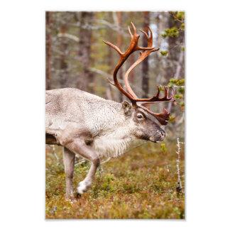 Impression Photo Renne marchant dans la forêt