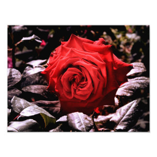 Impression Photo rose rouge