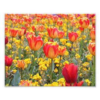 Impression Photo Tulipes, jaune lumineux et coloré et rouge