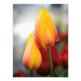 Impression Photo Tulipes jaunes et baisses de l'eau