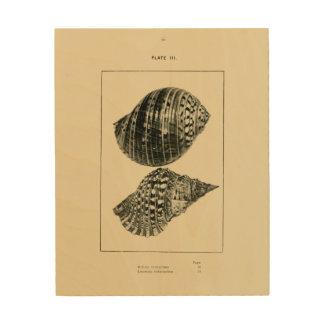 Impression Sur Bois Coquilles de NZ - variegatum de Dolium, rubicundum