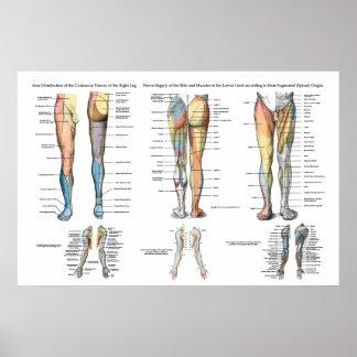 Innervation de nerf de jambe d'affiche inférieure poster