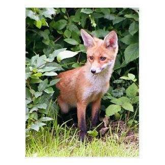 Jeune Fox 1 Carte Postale