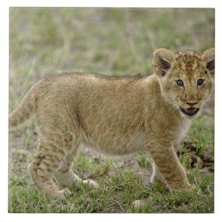 Jeune petit animal de lion, réservation de jeu de  grand carreau carré