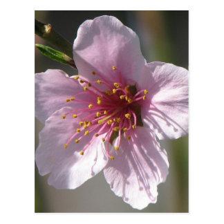 Jolie fleur de framboise carte postale