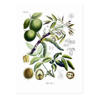 Juglans regia (noix) cartes postales
