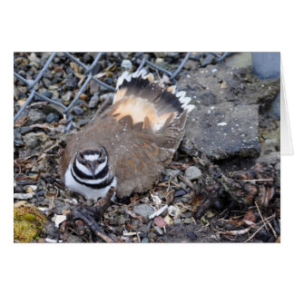 Killdeer sur son nid carte